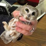 Owl Banding on Carpenter Nature Center's WI Campus...