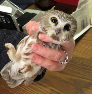 Owl Banding on Carpenter Nature Center's WI Campus