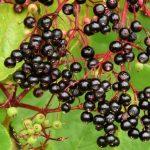 Growing Elderberry
