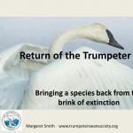 Return of the Trumpeter Swan