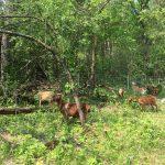 Goat Grazing Tours at Lake Elmo Park Reserve