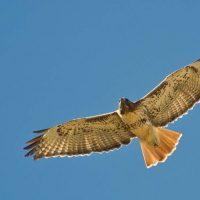 Minnesota's Flying Migators