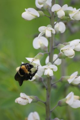 In Praise of Pollinators and Prairies